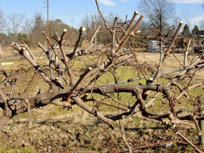 Виноград обрезают, чтобы весь сок шел на плоды, а не на ветки