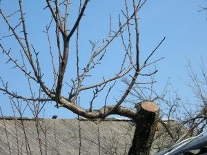 Омолаживание старых фруктовых деревьев