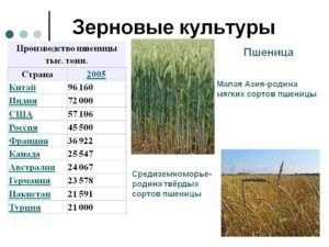 Рейтинг стран по выращиванию пшеницы